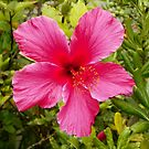Hibiscus in Full Bloom by mussermd