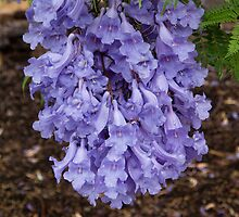 Jacaranda Blossoms in the Rain by Sandra Chung