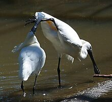 Oh No It Is Mine - Royal Spoonbills by Margaret Saheed