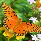 Gulf Fritillary Butterfly 2 by ©Dawne M. Dunton