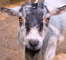 Billy The Goat by Dawne Dunton