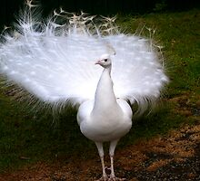 Exquisite White Peacock by Renee Hubbard Fine Art Photography