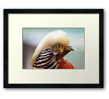 Golden Pheasant Framed Print