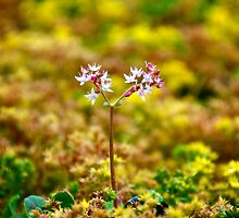 Tiny Alpine Flowers by Renee Hubbard Fine Art Photography