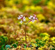Tiny Alpine Flowers by Renee Hubbard Fine Art Photography