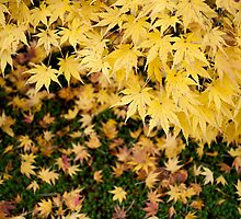 Yellow Leaves of Shibata by Russell  Jenkins