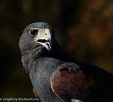 Harris Hawk by KarenLR