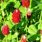 Crimson Clovers by WildestArt