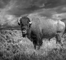 Yellowstone Bison in Black and White by Randall Nyhof