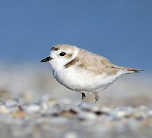 Snowy Plover by Heather Pickard
