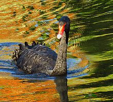 Black swan - autumn reflections by Mortimer123