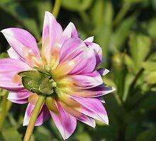 Dahlia's Rear View by Linda  Makiej