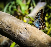 Butterfly Perch by Douglas Hamilton
