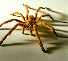 Orange Baboon Spider by Kawka