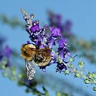 Bee on Purple by AnnDixon