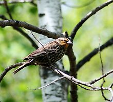 Female Red Winged Blackbird in a Tree by rhamm