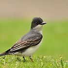 Eastern Kingbird by Kathy Baccari