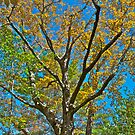 Maple Tree by Carolyn Clark