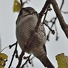 Northern Hawk-Owl by Peter Wiggerman