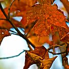 Orange and Brown Maple leaves by Carolyn Clark