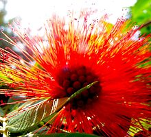 Bottlebrush by MarianBendeth