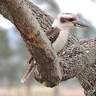 Kookaburra by jaycee