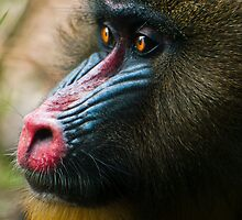 Mandrill by Josh Tagi
