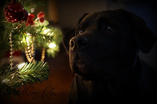 Bella  .....Merry Christmas by jeanlphotos
