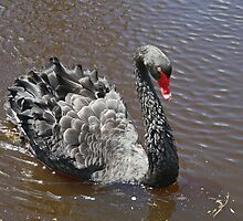 Black Swan (Cygnus aratus) by Margaret  Hyde
