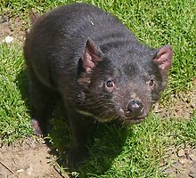 Tasmanian Devil (Sarcophilus harrisi) by Margaret  Hyde