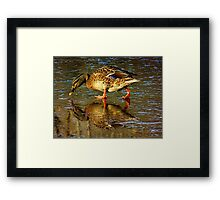 Admiration of a Duck Framed Print