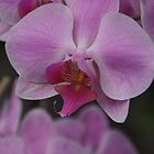 Purple Orchid by lezvee