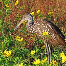 A limpkin with color! by jozi1