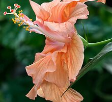 Extroverted Hibiscus by Bruce Bischoff