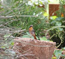 Cape Robin in my garden (Cossypha caffra) by Maree  Clarkson