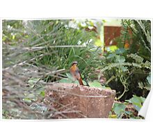 Cape Robin in my garden (Cossypha caffra) Poster