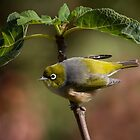 Silvereye ~ Morning Glory by kim wormald