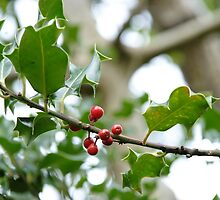 Holly berries by HPByrne