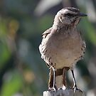 Chilean Mockingbird by Dennis Cheeseman