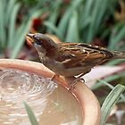 Thirsty Sparrow by Bine
