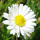 Laughing White Daisy in Reflection Frame by BlueMoonRose