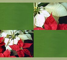 Mixed Color Poinsettias 2 Blank Q5F0 by Christopher Johnson