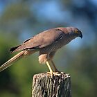 Brown Goshawk. Cedar Creek, Queensland, Australia. by Ralph de Zilva