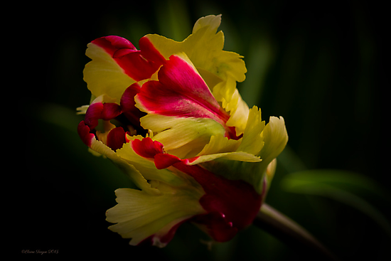 Parrot Tulip #2 by Elaine Teague
