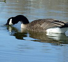 Canada Goose Feeding in the Water by rhamm