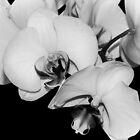Orchids in Black & White by Amar-Images