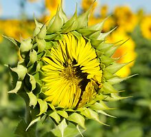 Mississinewa Sunflower ReadySet by Lee Craig