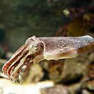 Curious Cuttlefish by Ray Warren
