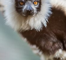 Lovely Lemur by Ray Warren