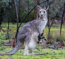 Roos in the Rain by Ray Warren